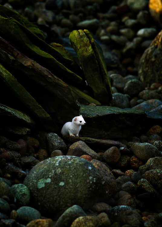 A wintercoated stoat (Mustela erminea) at Obrestad partly hiding the rocks.