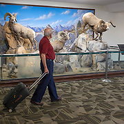 A traveler looks at a display of mounted bighorn sheep on display in the Reno, Nevada airport.