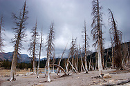 Dead Pine Trees Killed by Carbon Dioxide Emissions near Horseshoe Lake, Ansel Adams Wilderness, California