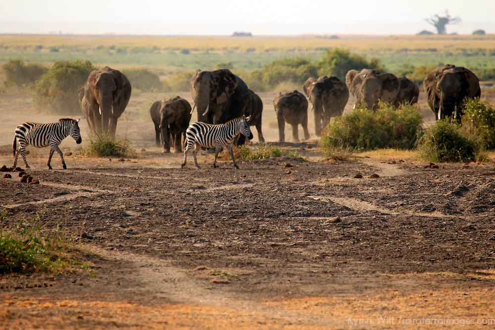 Africa, Kenya, Amboseli. Elephants and zebras at Amboseli.