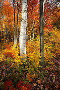 Image of fall trees in Acadia National Park, Maine, American Northeast