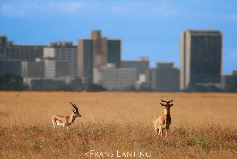 Topi, Damaliscus lunatus, and grant's gazelle, Gazella Granti, with city skyline, Nairobi National Park, Kenya