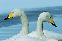 A close view of the head and neck of a pair of whooper swans (Cygnus cygnus) at rest.