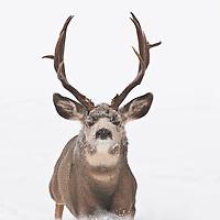 muledeer buck lunging, runing, rushing, chasing, approaching snow winter