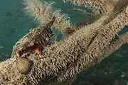 Shortnose Batfish (Ogcocephalus nasutus)<br /> Mangroves<br /> Caye Caulker<br /> Ambergris Caye<br /> Belize<br /> Central America<br /> Mangrove stand showing importance of mangroves as a nursery area for commercial and bait fish species