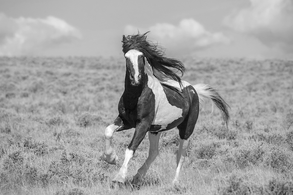With a storm rolling in behind him, the wild stallion, Washakie, charges towards a bachelor stallion, intent of stealing his mares.