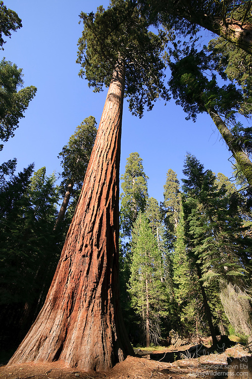 Several giant sequoia trees (Sequoiadendron gigantea) grow in the Mariposa Grove in Yosemite National Park, California. The grove is home to many ancient trees, one of which is 1800 years old.