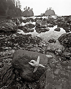 BW01905-00...WASHINGTON - Seastar on a rock at the Point-Of-The-Arches in Olympic National Park. This is an Ilford Delta 100 4x5 film image.