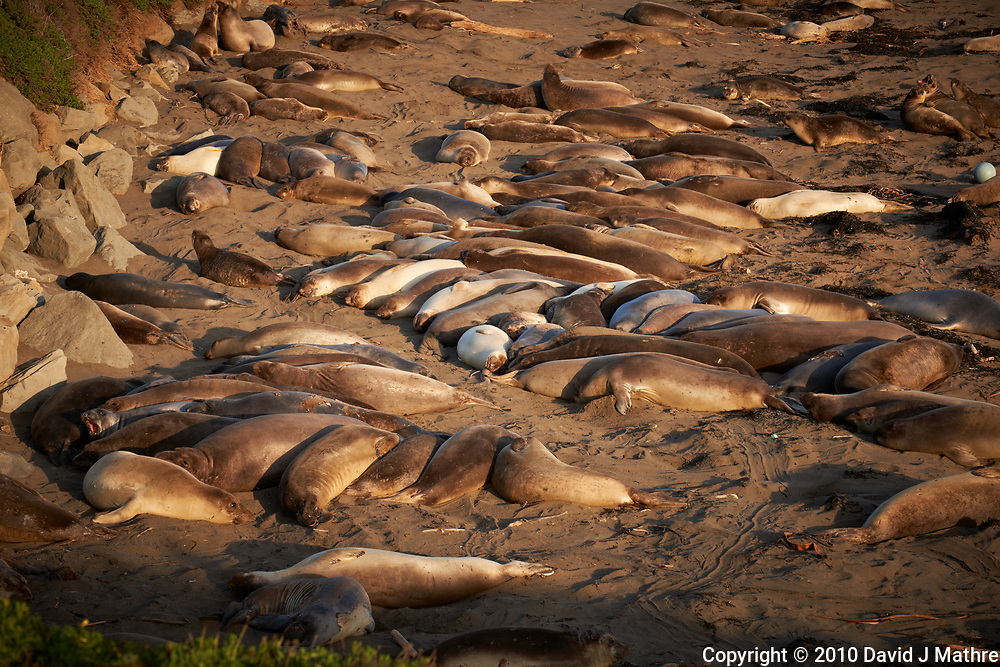Elephant Seals at Piedras Blancas Beach, Central California Coast. Image taken with a Nikon D3x and 70-300 mm VR lens (ISO 160, 110 mm, f/8, 1/250 sec).