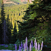 Wild Lupine, Spruce and Hesperus Peak