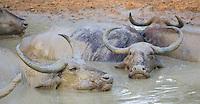 Asian Water Buffalo (Bubalus bubalis) wallowing in a muddy natural pool, Yala National Park, Sri Lanka