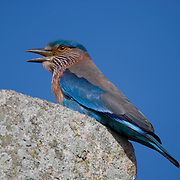 Indian Roller (Coracias benghalensis), was formerly locally called the Blue Jay. Sri Lanka
