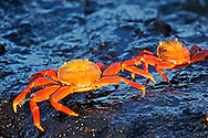 Sally Lightfoot Crab ( Grapsus grapsus ) . Santiago Island. Galapagos.