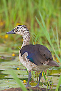 Comb Duck.Sarkidiornis melanotos.AKA Knob-billed Duck.female.Mauricedale Game Reserve.near Malelane,.Mpumalanga Province,.South Africa.20 January 2006