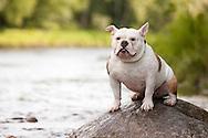 Bulldog mix sitting on rock along river