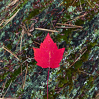 http://Duncan.co/red-maple-leaf-on-bark