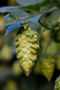 Hops harvest, Yakima, Washington