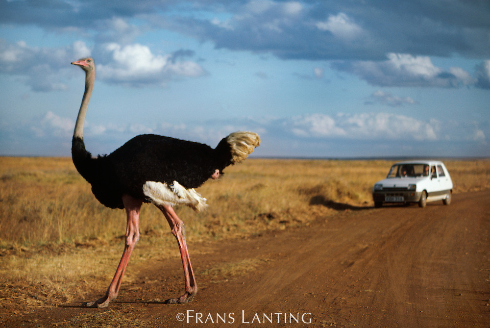 Male ostrich with tourist vehicle, Struthio camelus, Nairobi National Park, Kenya