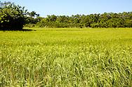 Rice field in Yara, Granma, Cuba.