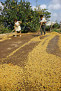Father and daughter spreading coffee beans to dry in the sun, Cuetzalan, Puebla State, Mexico.