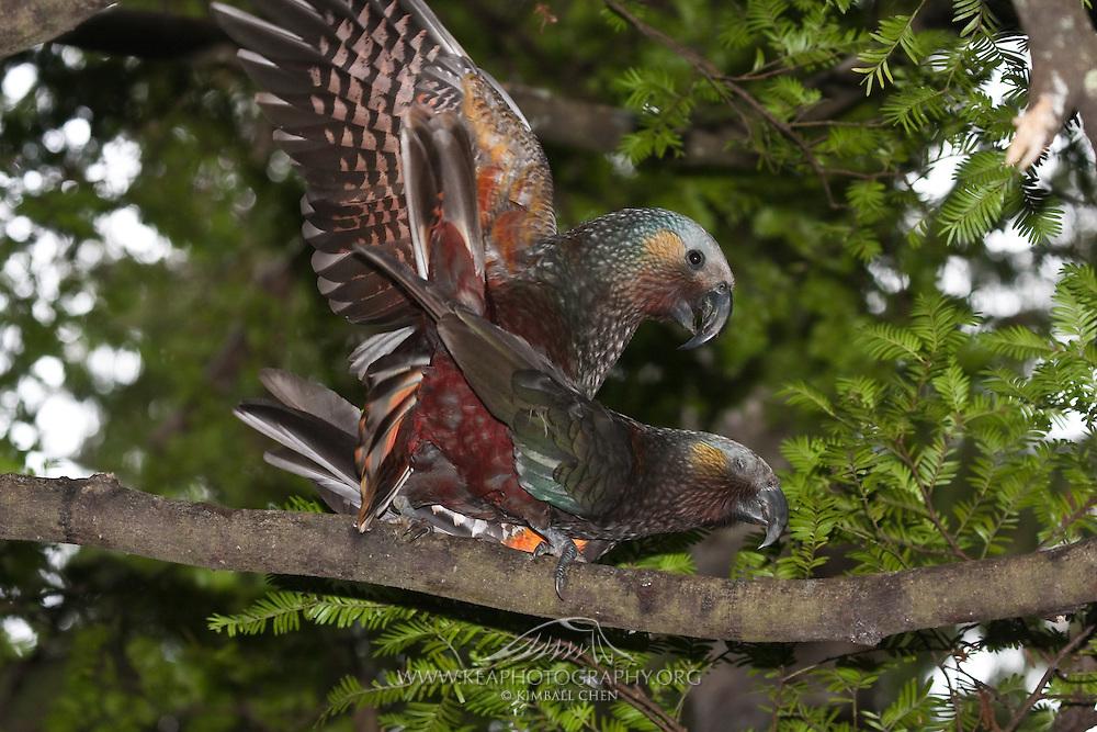 Kaka, mating, Ulva Island, New Zealand