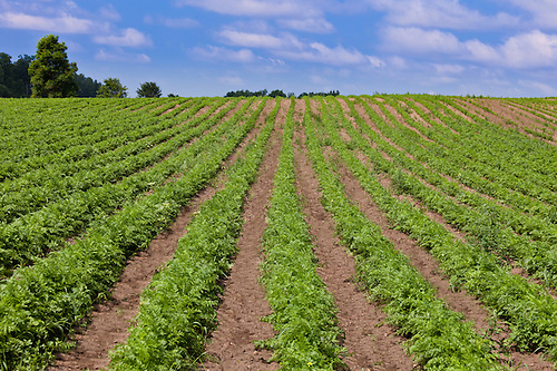 Carrot Field Royalty Free Stock Photos - Image: 20366988