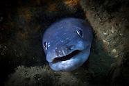 Conger verreauxi (Common Conger Eel)