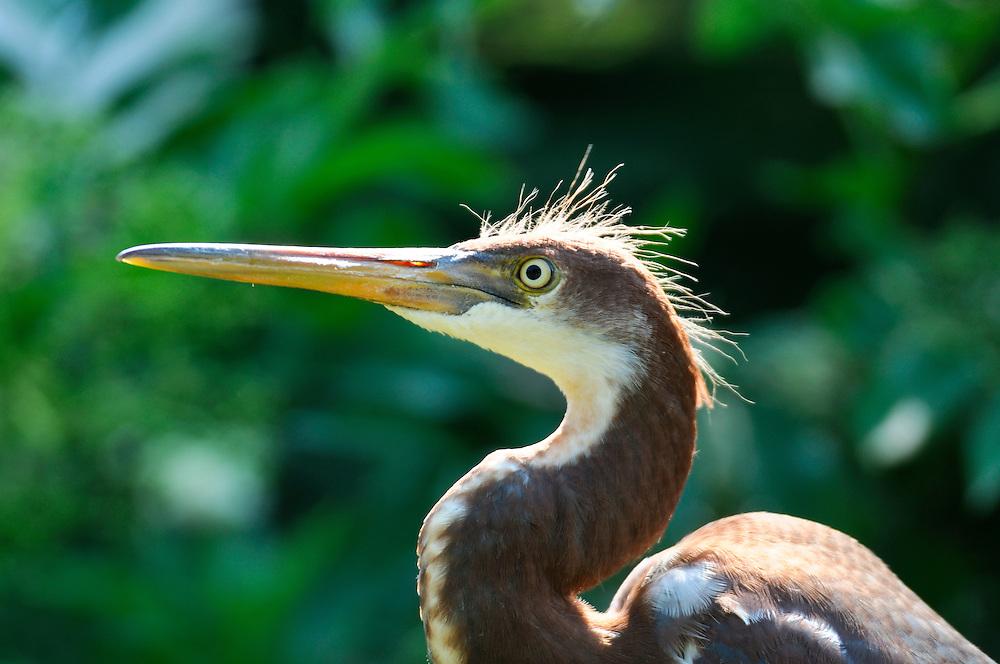 Heron, Bird, Alligator Farm, Zoological Park, St. Augustine, Florida, USA