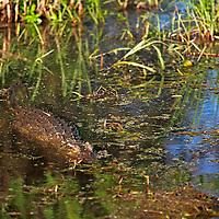 Africa, Zimbabwe, Victoria Falls. Crocodile of the Zambezi River.