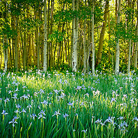 Wild Iris and Aspens