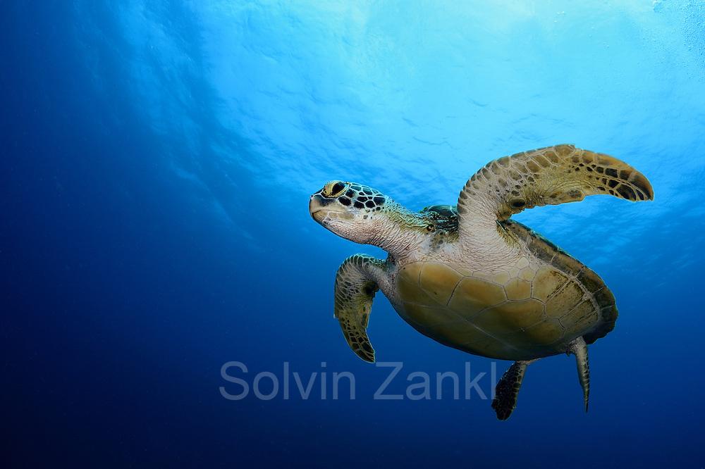 Green sea turtle (Chelonia mydas) Atlantic, Bonaire, Leeward Antilles, Caribbean region, Netherlands Antilles | Grüne Meeresschildkröte (Chelonia mydas) im Freiwasser auf ihrem Weg zum nächsten Atemzug. Etwa alle 45 Minuten müssen Meeresschildkröten wieder an die Oberfläche, um dort vor dem erneuten Abtauchen mehrere Atemzüge zu nehmen.