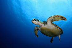 Sea turtle | Meeresschildkröte