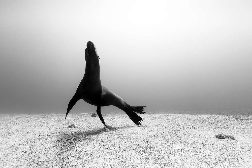 México, Baja California, La Paz. A sea lion´s silhouette rising from the sandy bottom at La Lobera.