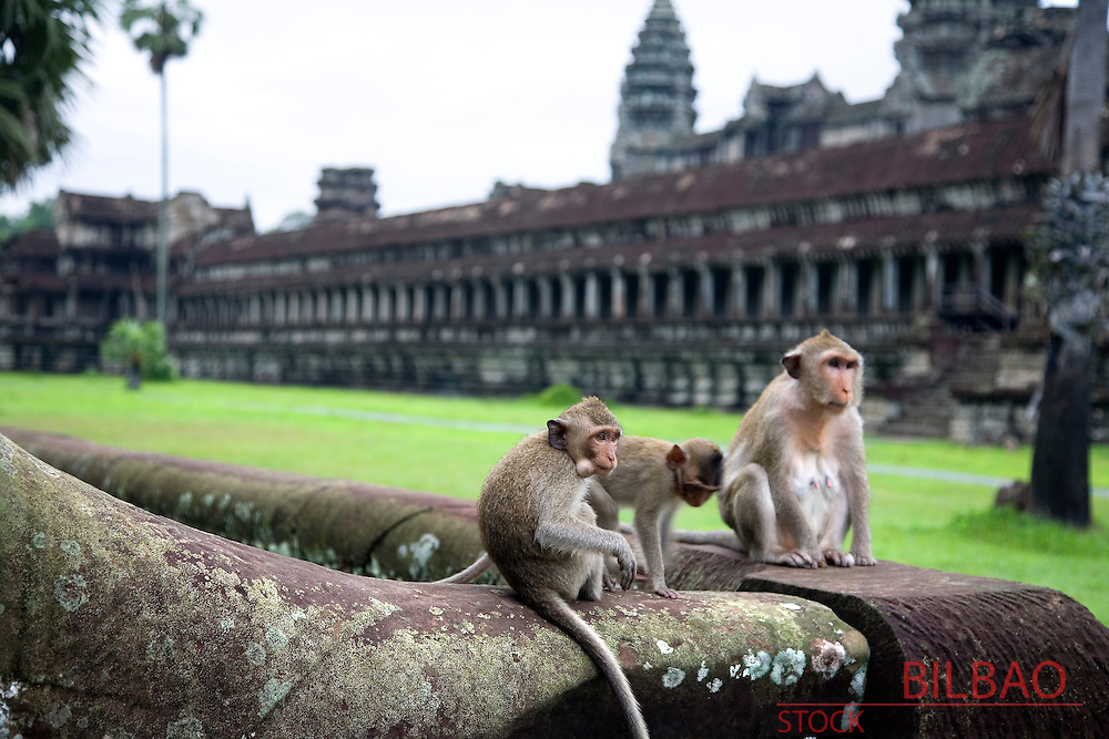 monkeys in Angkor Wat temples. Cambodia, Asia