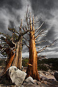 twisted bristlecone pine trees in yosemite national park, california