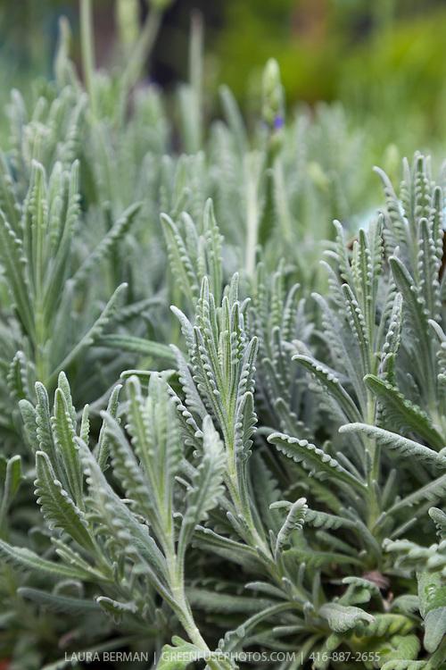 'Goodwin Creek Gray' Lavender (Lavandula x 'Goodwin Creek')