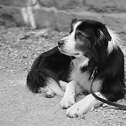 Waiting Border Collie - Avebury, UK - Black & White