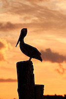 A brown pelican photographed at Silver Lake, Ocracoke Island .North Carolina.
