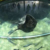 Shark ( Glinglymostoma cirratum ) &amp; Sting Ray Encounter Program (c)&amp;#xA;Ocean World Interactive Marine Park, Puerto Plata, Dominican Republic, Caribbean Sea<br />