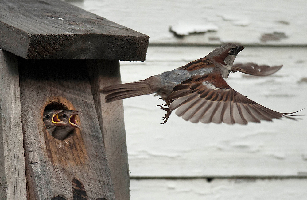 Young sparrows call out to a male House Sparrow as it flies off to find more food in East Windsor, Conn. (AP Photo/Jessica Hill)