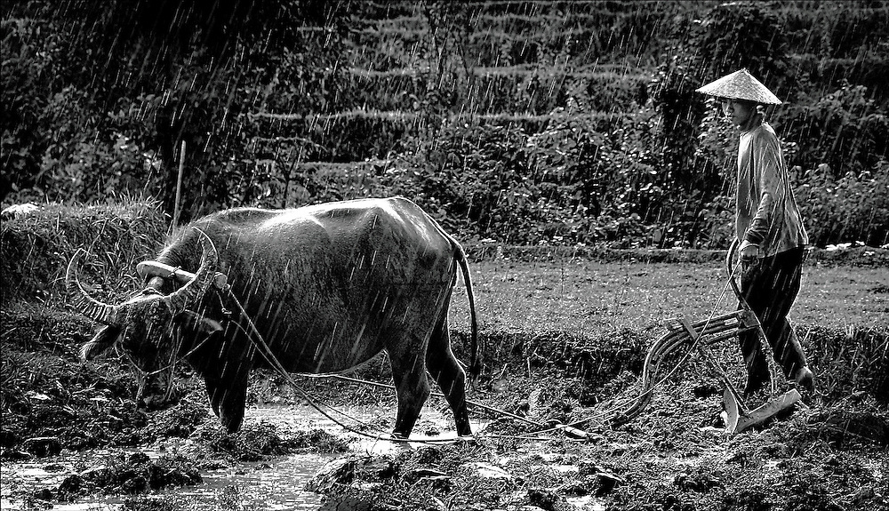 A farmer ploughs his rice field with the help of a water buffalo in Luang Prabang, Laos.