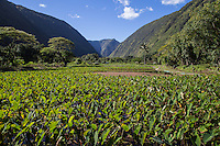 Taro Field in the Waipio Valley.  Waipio Valley was the residence of many early Hawaiian kings.  (Waipio means curved water in the Hawaiian language).  Taro is one of the staples of the native Hawaiian diet, providing starch and sustenance for many people in the Hawaiian Islands.