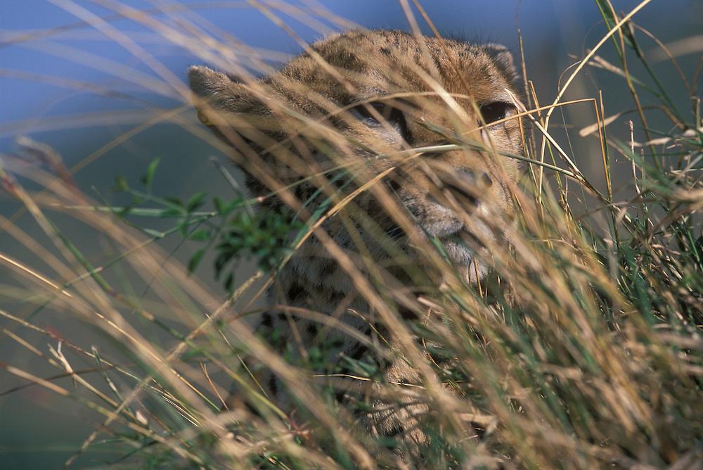 Africa, Kenya, Masai Mara Game Reserve, Adult Cheetah (Acinonyx jubatas) resting in tall grass on savanna