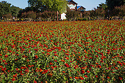 A field of red zinnias decorates the ground of Wildseed Farms outside Fredericksburg, Texas.