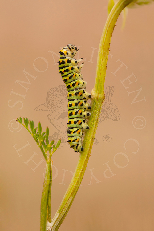 Common Swallowtail (Papilio machaon britannicus) caterpillar, feeding on Milk Parsley, The Broads N.P., Norfolk, England
