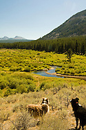 Australian Shepherd Dogs, Wise River, Beaverhead National Forest, Pioneer Mountains, Southwest Montana, Pioneer Mountains Scenic Byway<br /> PROPERTY RELEASED