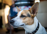 Jack Russell Terrier Dog - Jul 2014.