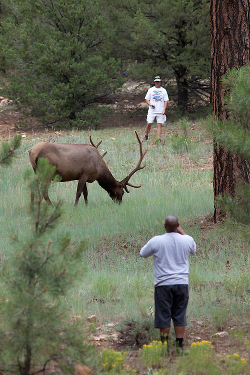 Tourists approaching an elk. South Rim of Grand Canyon National Park.