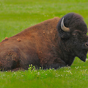 Resting Bison Close View - Lamar Valley - Yellowstone National Park