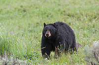 Black bear in the Greater Yellowstone Ecosystem
